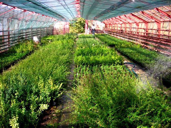 listnaté keře ve skleníku
